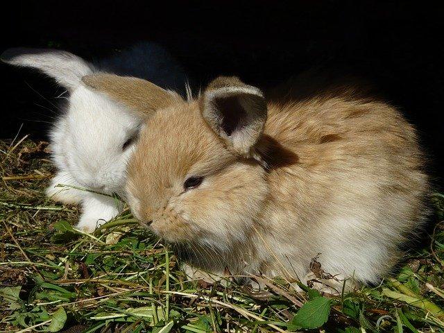 bílý a zrzavý králíček