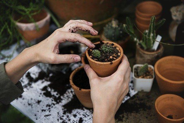 sázení kaktusů