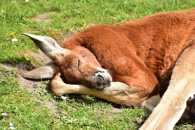 spící klokan