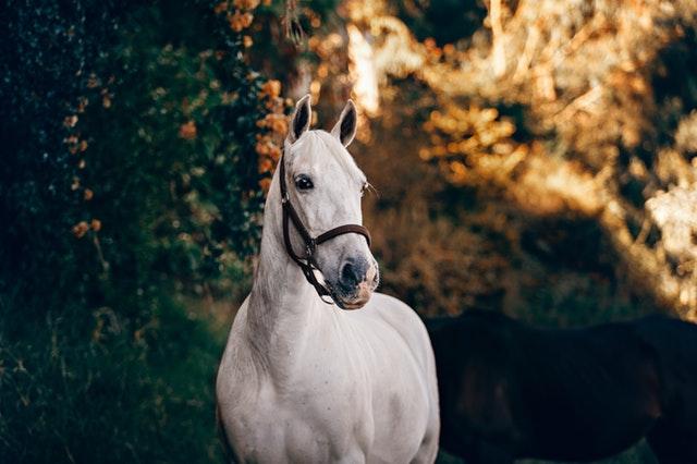 ohlávka na hlavě koně
